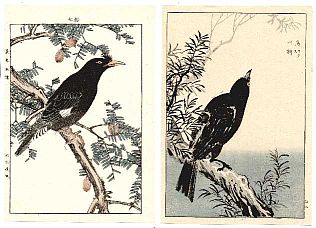 Crows on a snowy Hemlock