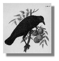 A Crow Speaks